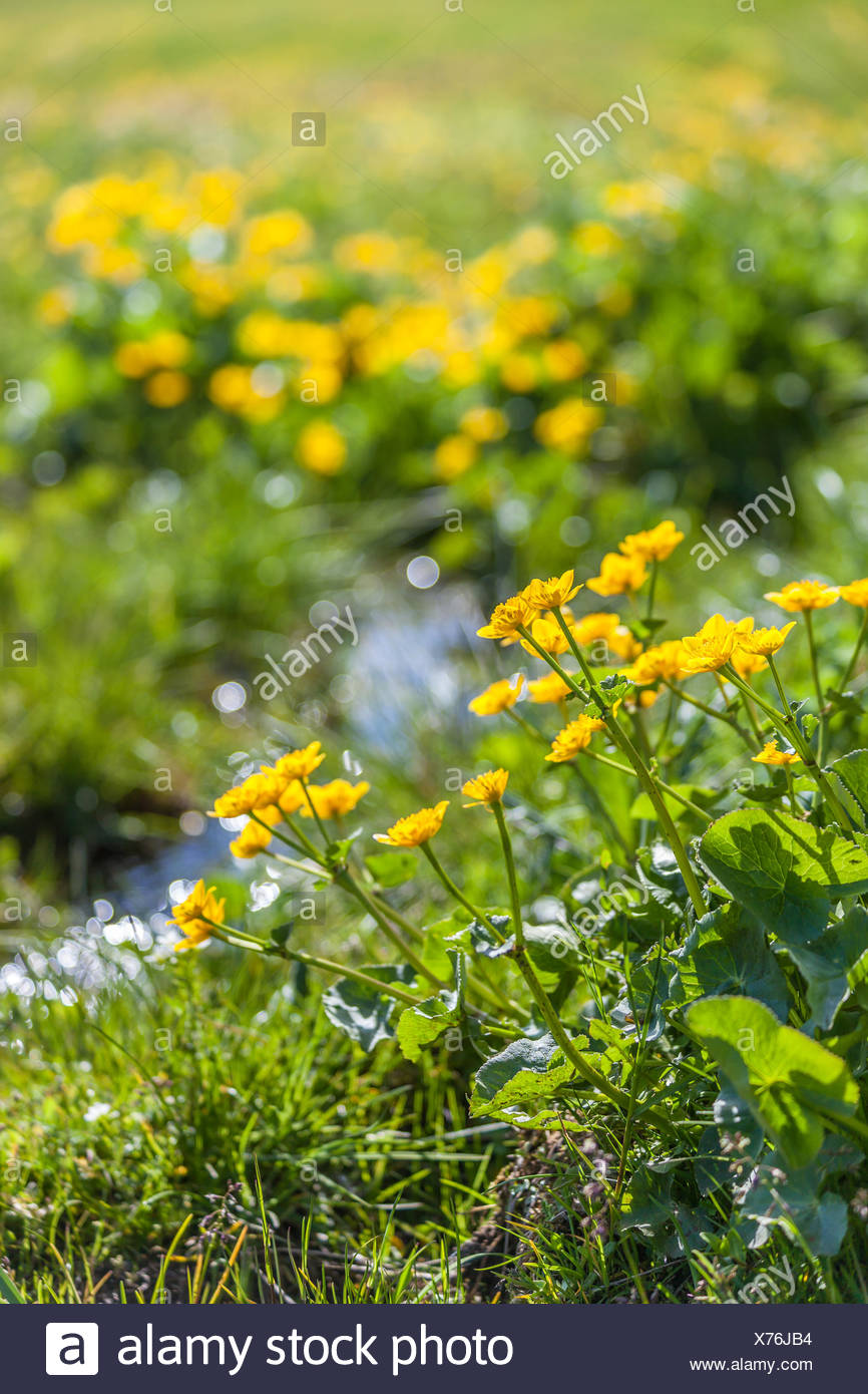 botany, marsh marigold (Caltha Palustris) and little one mountain stream on the Seiser mountain pasture, South Tyrol, Italy, Additional-Rights-Clearance-Info-Not-Available Stock Photo