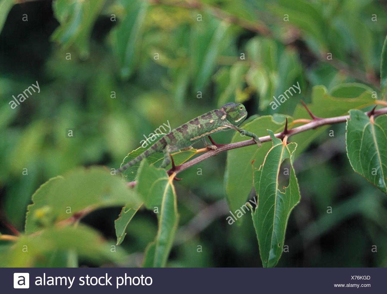 laplander chameleon, chamaeleo hoehnelii - Stock Image