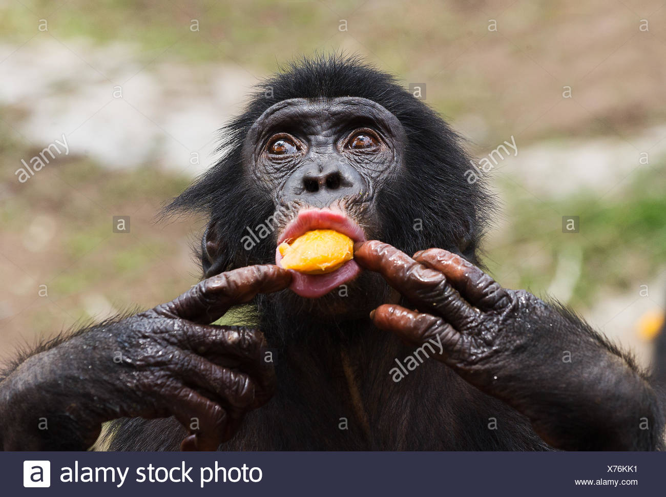 Chimpanzee With Baby Chimp Play Stock Photos Amp Chimpanzee