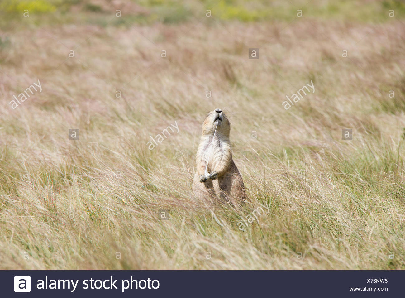 A prairie dog bites a piece of discarded gum. - Stock Image