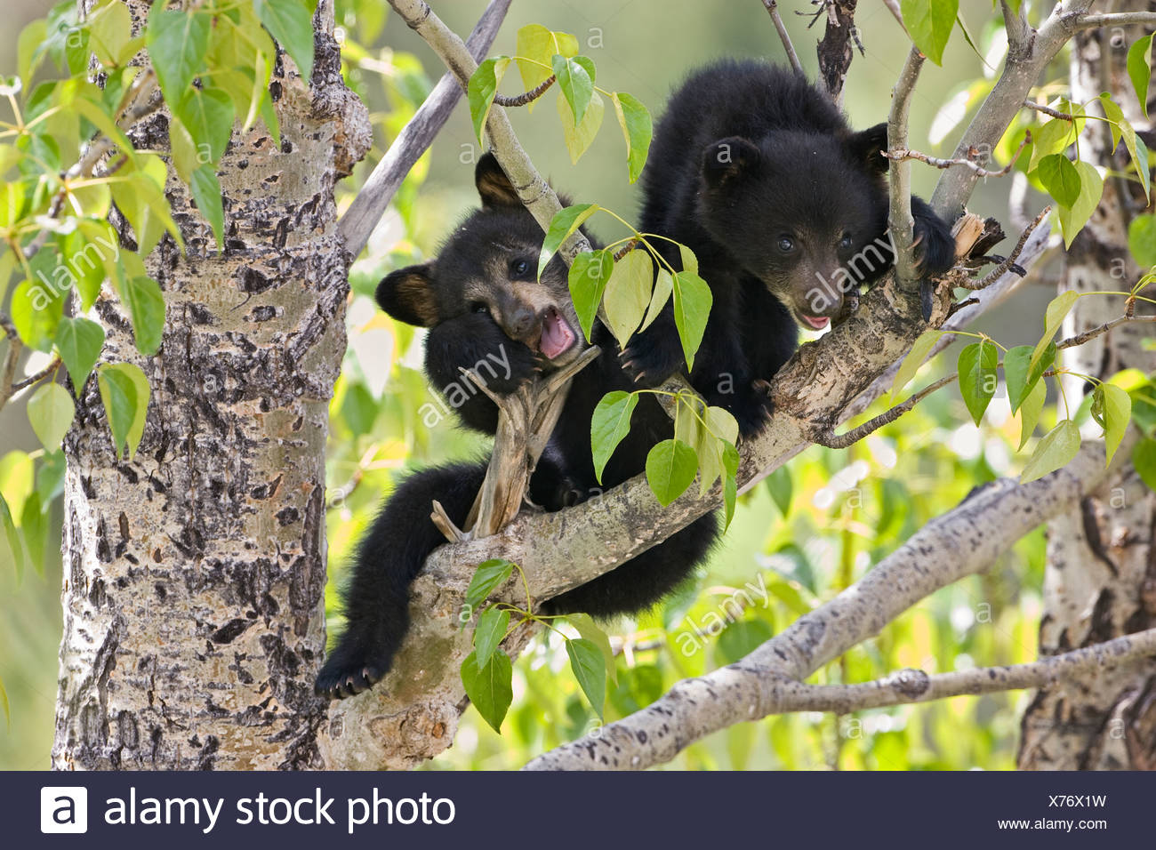Black bear cubs (Ursus americanus) in tree (Populus sp.) Jasper National Park Alberta Canada. female bear sent her two cubs up a Stock Photo