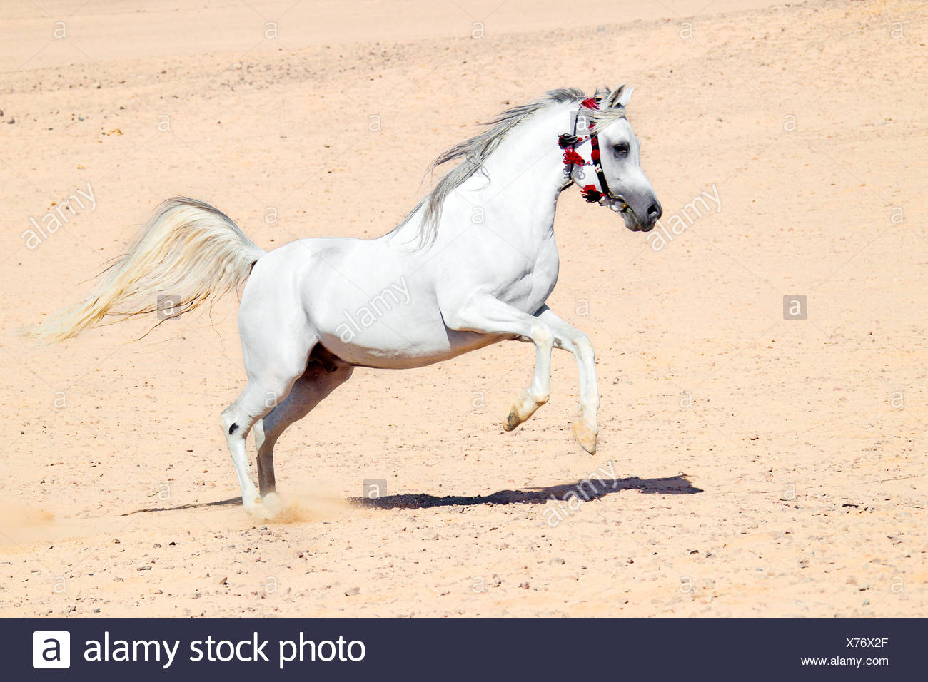 Arabian Horse Galloping In Sand Stock Photo Alamy