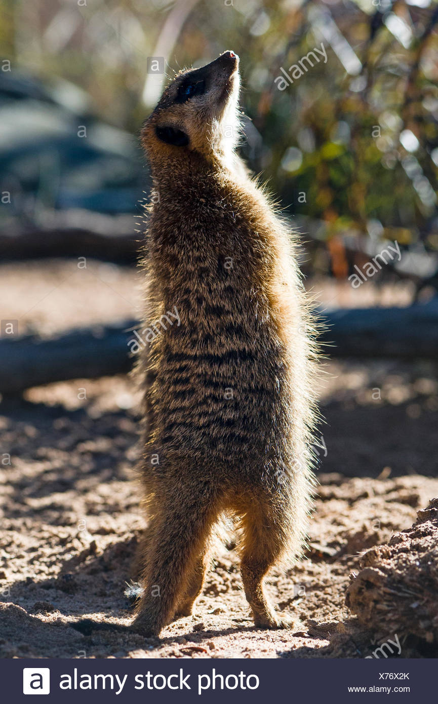 A Meerkat on patrol searches the sky for birds of prey and predators. - Stock Image
