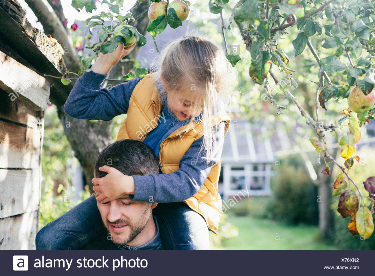 Daughter on father's shoulders, picking apple from tree - Stock Image