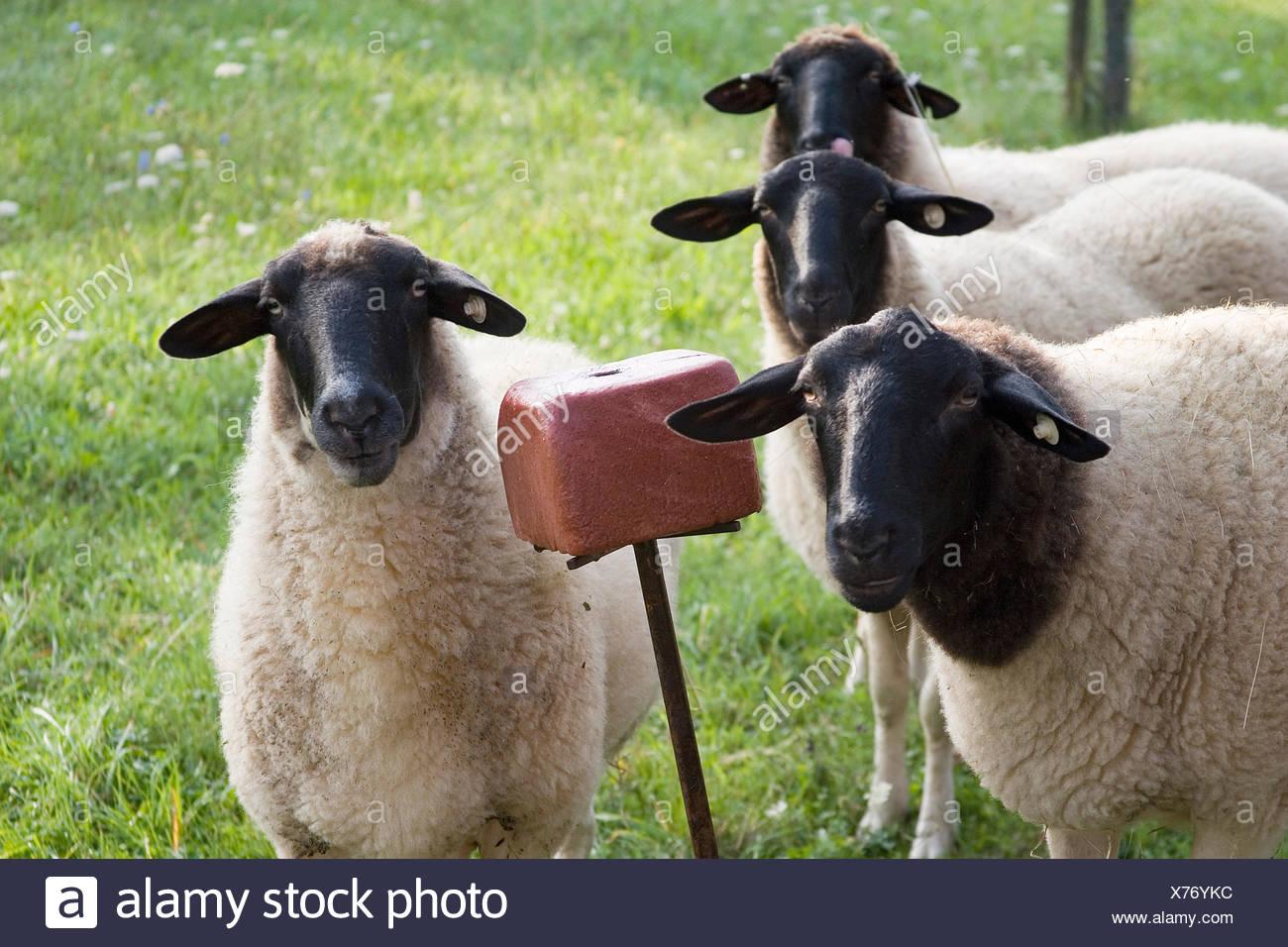animals four counter-light heads gate flock of sheep sheep (pl.) sheepskin Stock Photo
