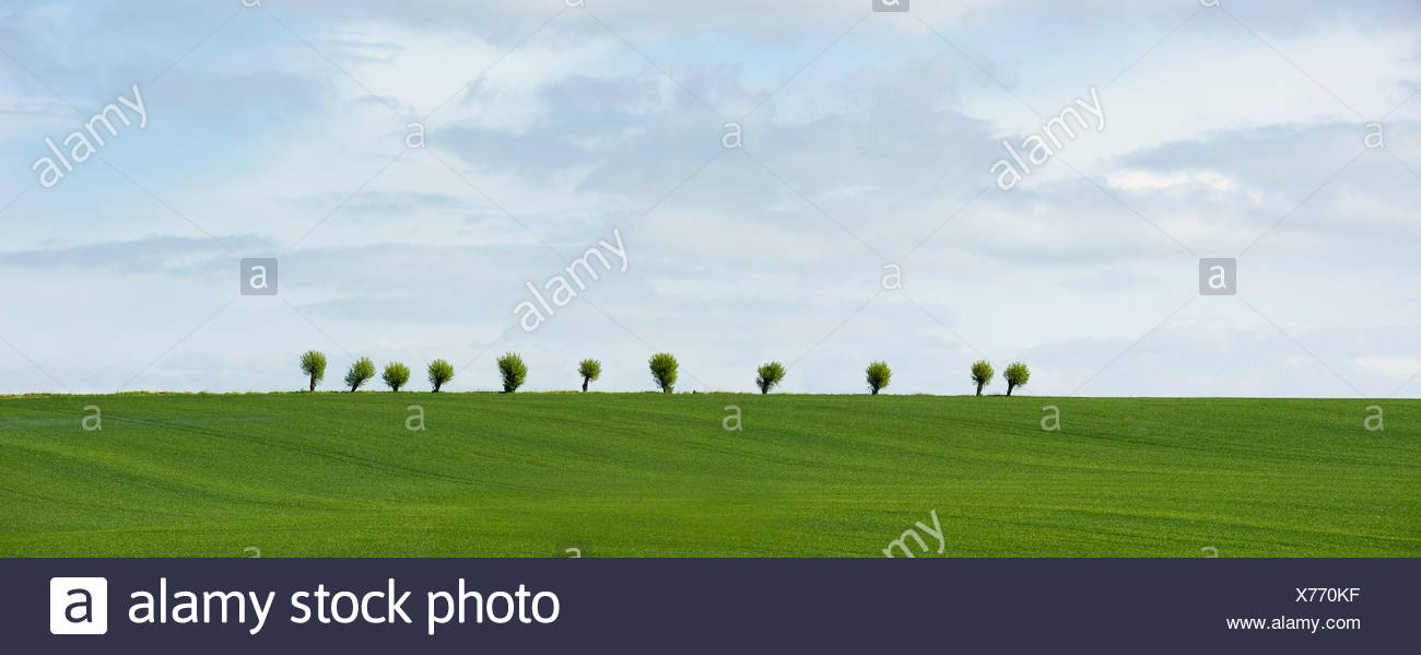 Panoramic shot of idyllic meadow with willows in row at the background at Barseback, Scania, Sweden - Stock Image