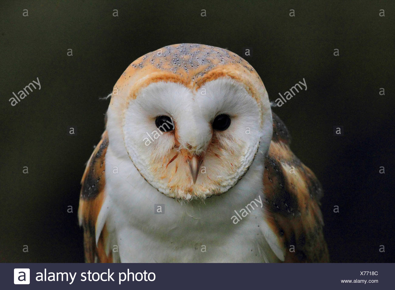 Barn owl (Tyto alba), portrait, front view, Germany - Stock Image