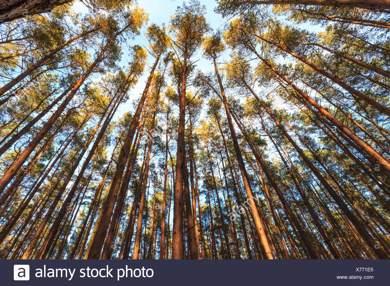trees / treetops inside forest - Stock Image