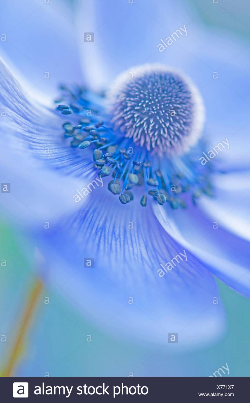 Anemone coronaria, Blue flower subject. - Stock Image