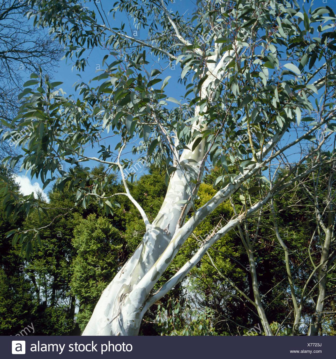 Eucalyptus pauciflora - ssp. niphophila AGM   TRS059558 - Stock Image