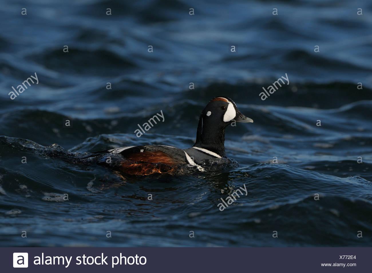 Zwemmende man Harlekijneend; Swimming drake of a Harlequin Stock Photo