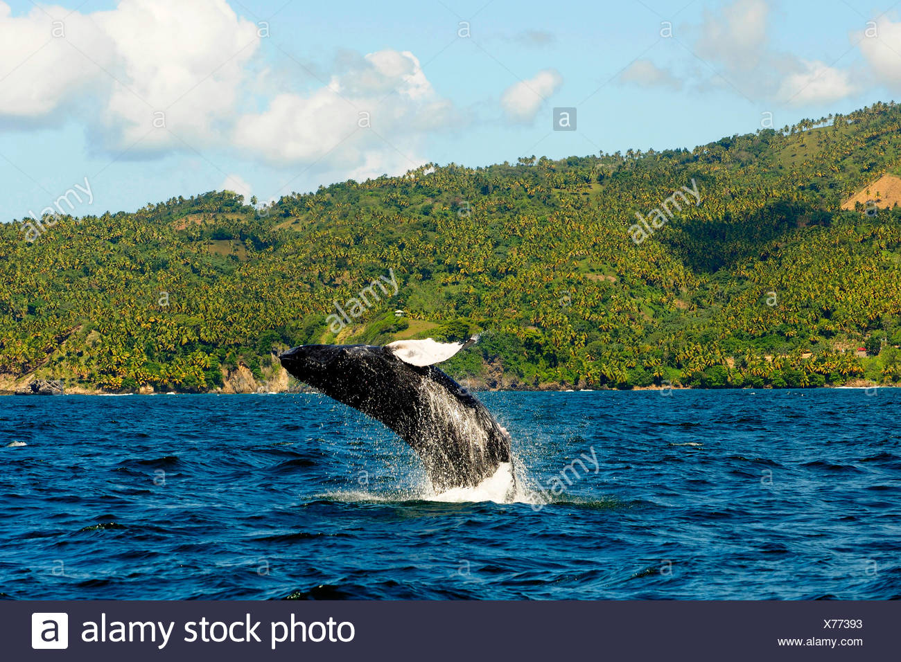 humpback whale (Megaptera novaeangliae), humpback whale jumps out of the water, Dominican Republic, Samana - Stock Image