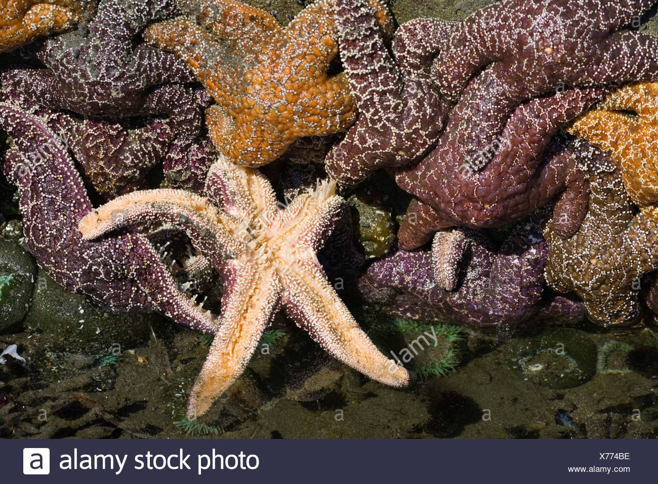 Tide pool with Sea Stars, Ochre Sea Stars (Piaster ochraceus), Pacific Coast, Olympic National Park, Washington, USA Stock Photo