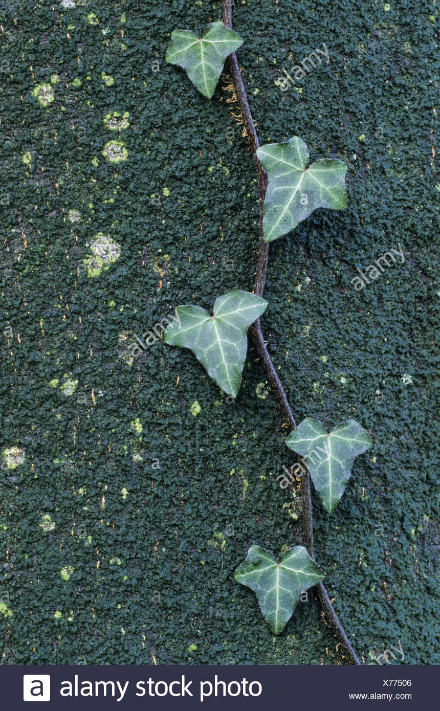 Common Ivy the fruit are ripening in late winter - Stock Image