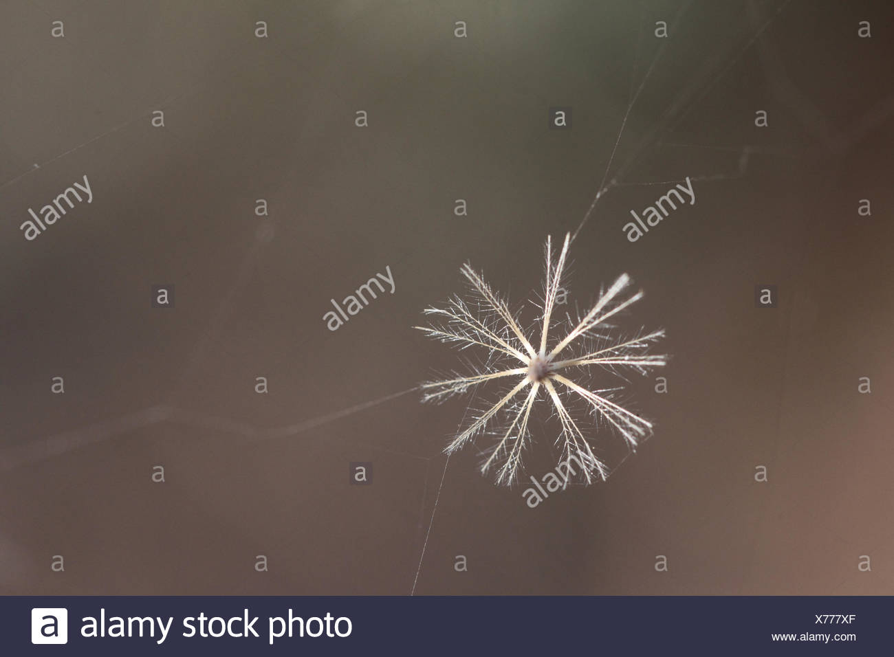 An Asteraceae flower stuck on a spiderweb. - Stock Image
