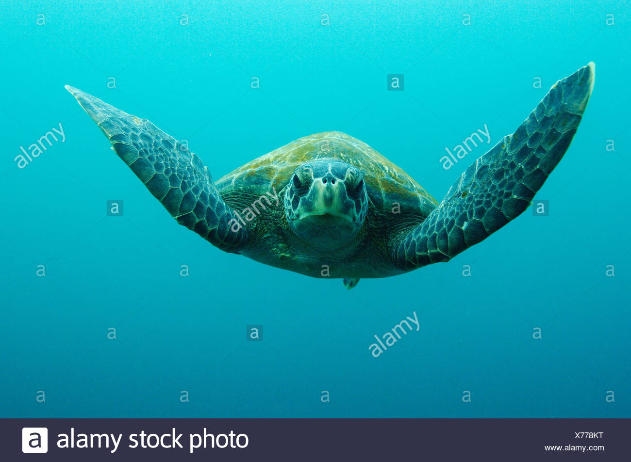Green Turtle, Central Isles, Galapagos Islands, Ecuador, South America. - Stock Image