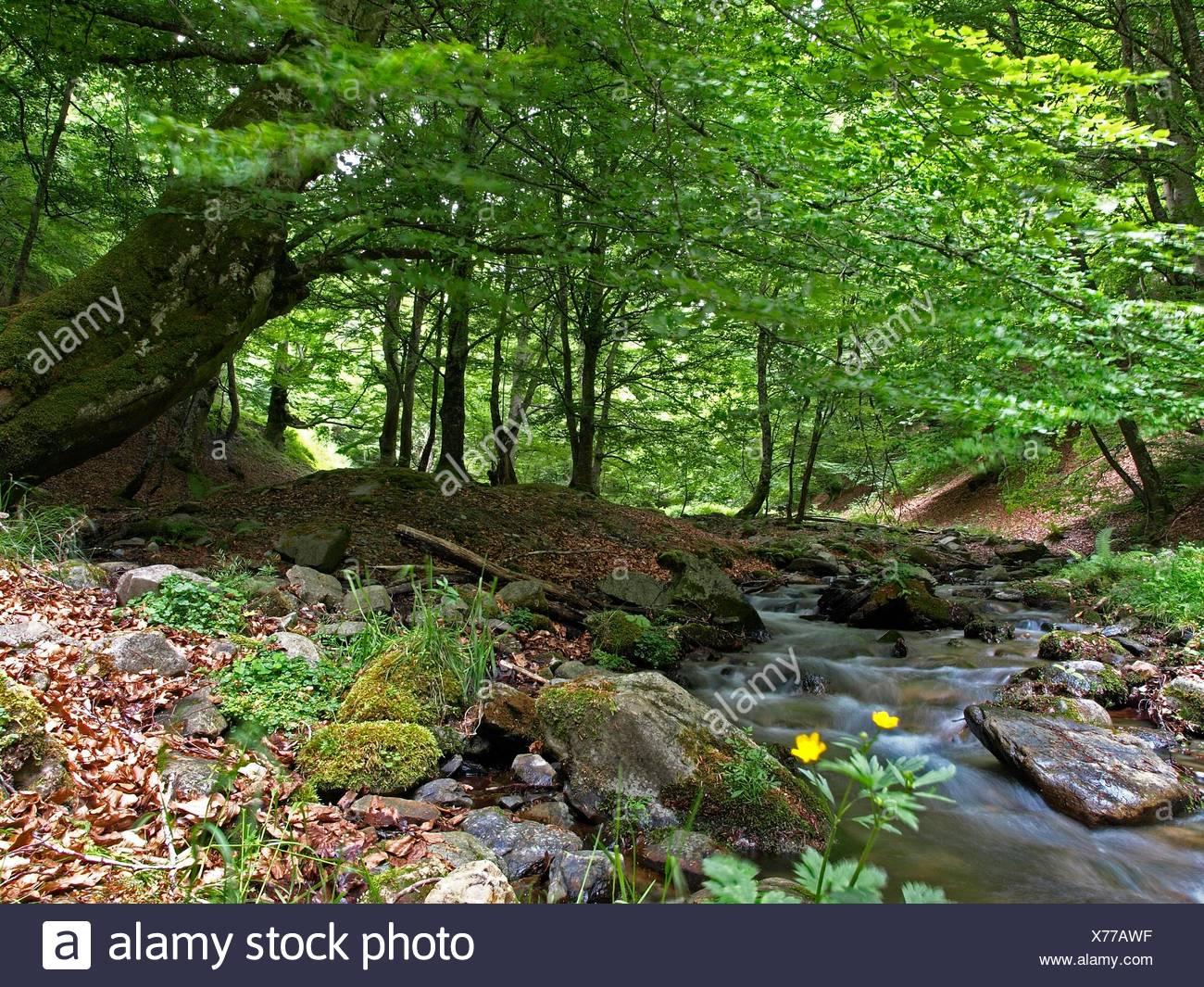 Beech Fagus Sylvatica Forest El Rajao Cameros La Rioja Stock Photo Alamy
