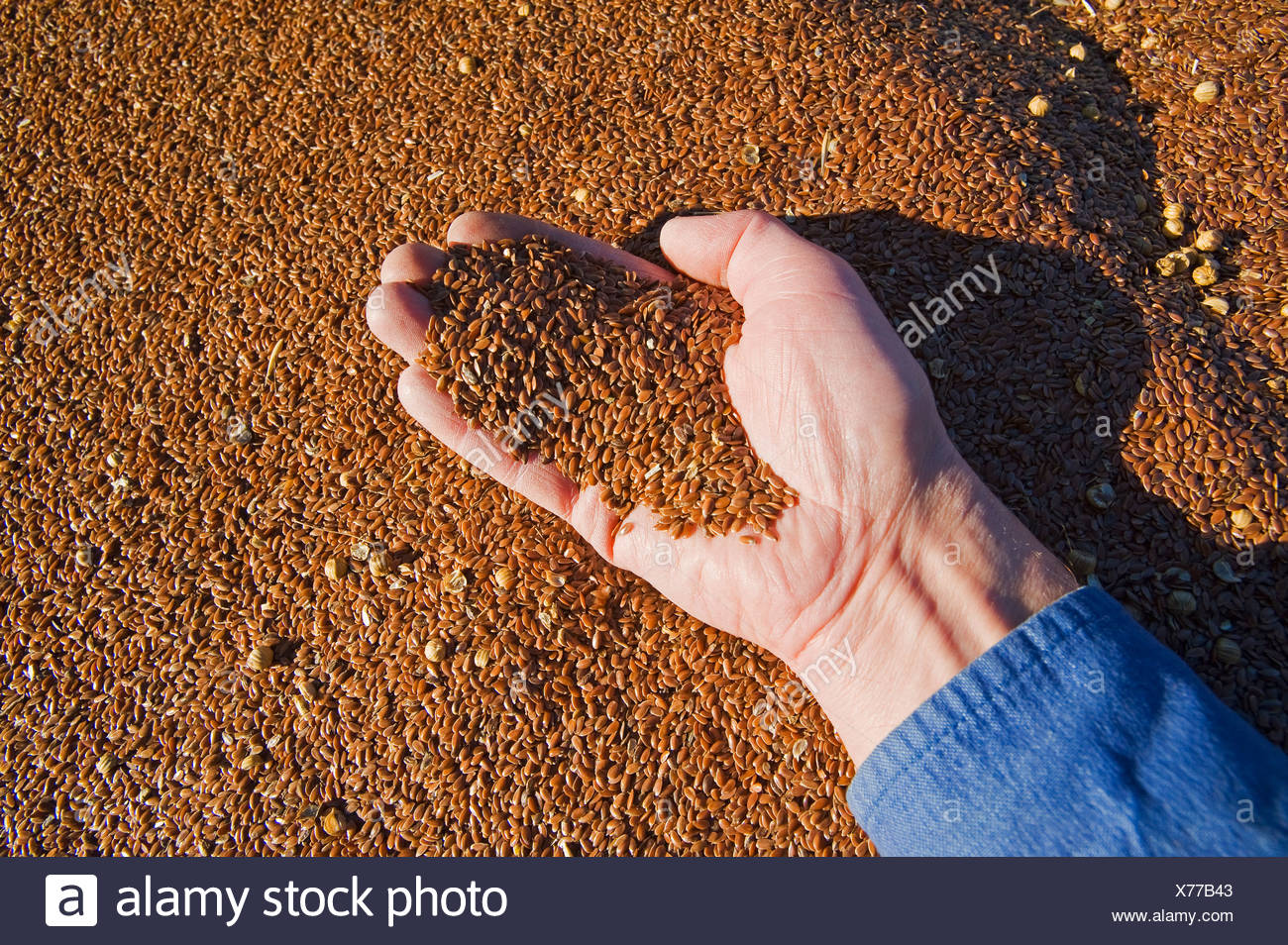 a hand holds flax seed that has been loaded into a farm truck during the harvest, near Lorette, Manitoba, Canada - Stock Image