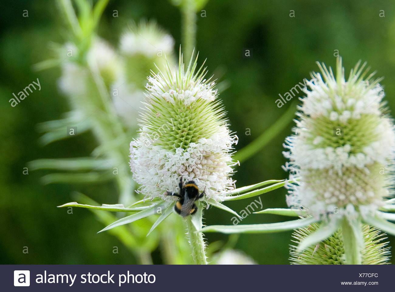 wild teasel, Fuller's teasel, common teasel, common teazle (Dipsacus fullonum, Dipsacus sylvestris), inflorescence mit humble bee, Germany - Stock Image