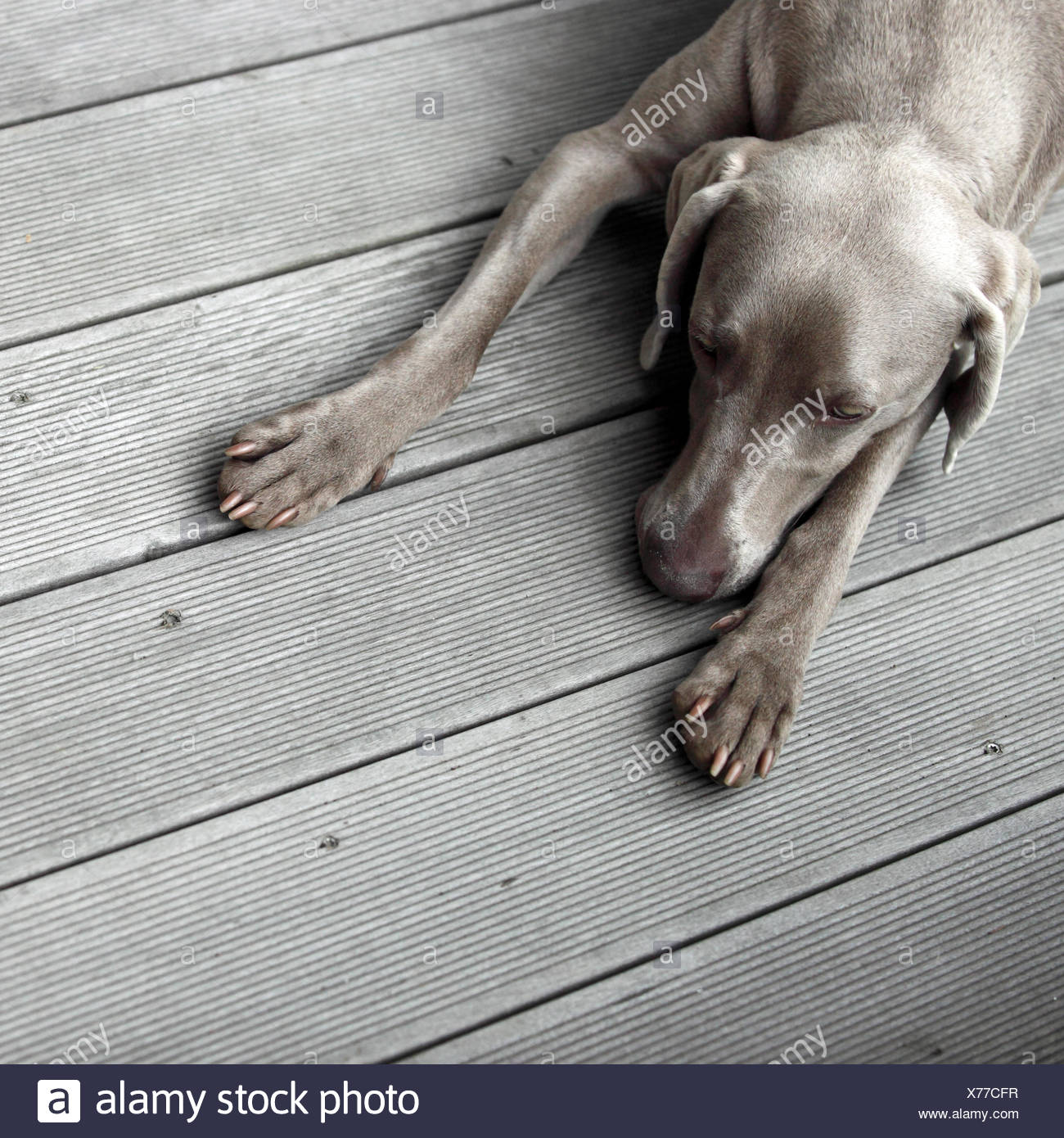 Dog rests on wooden floor - Stock Image
