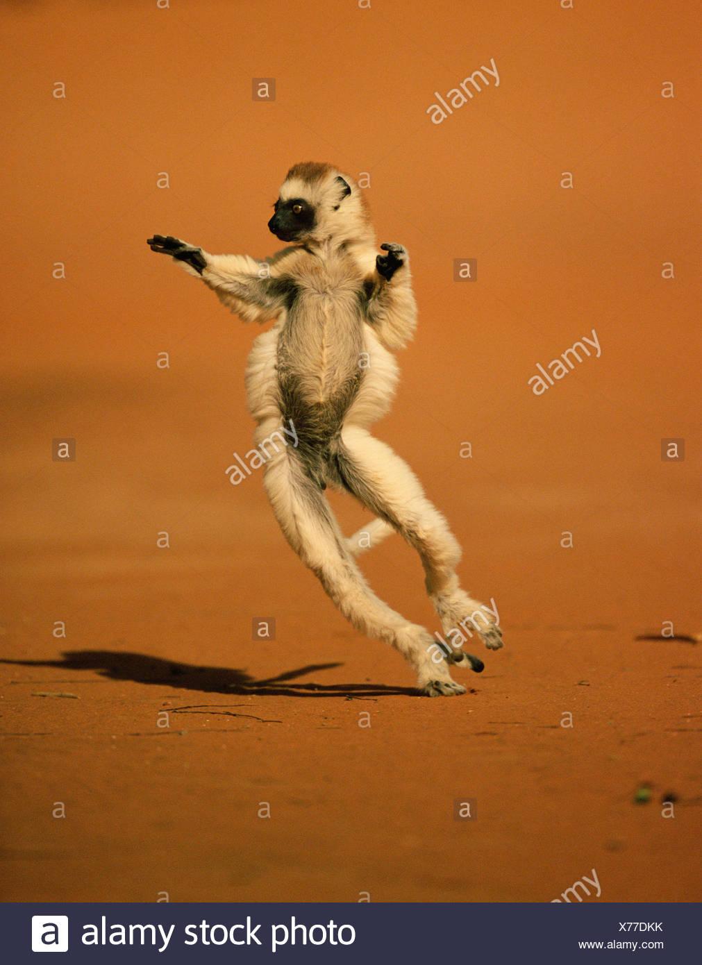 VERREAUX'S SIFAKA (Propithecus verreauxi) dancing. Madagascar - Stock Image
