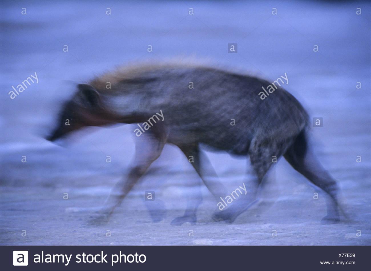 spotted hyena (Crocuta crocuta), ambiguous, Namibia, Namotoni - Stock Image