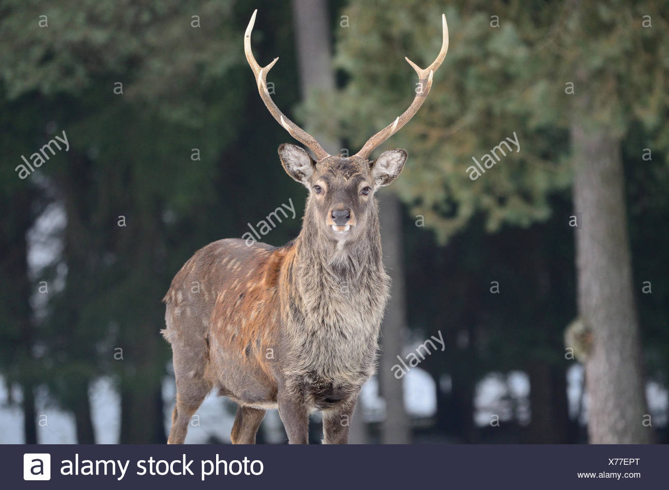 Sika, animal, Tier, winter, Japanese deer, deer, stag, Cervus nippon, deer, stags, animals, wild animals, Asian deer, rutting sea - Stock Image