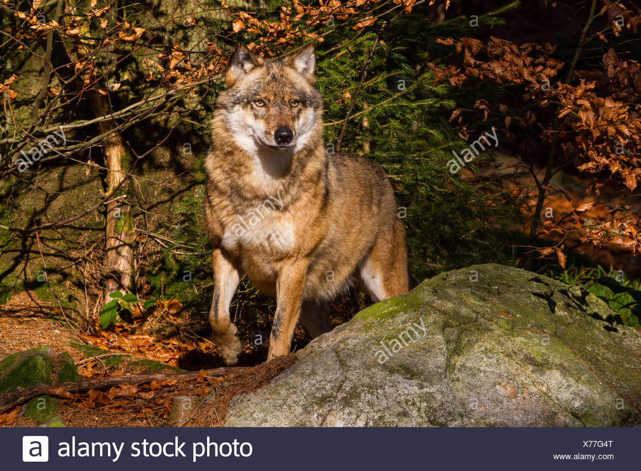 European gray wolf (Canis lupus lupus), standing watchfully at a rock in an autumn forest, Germany, Bavaria, Bavarian Forest National Park Stock Photo