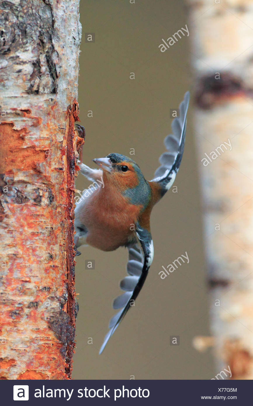 chaffinch (Fringilla coelebs), at birch trunk searching food under bark, United Kingdom, Scotland, Cairngorms National Park - Stock Image