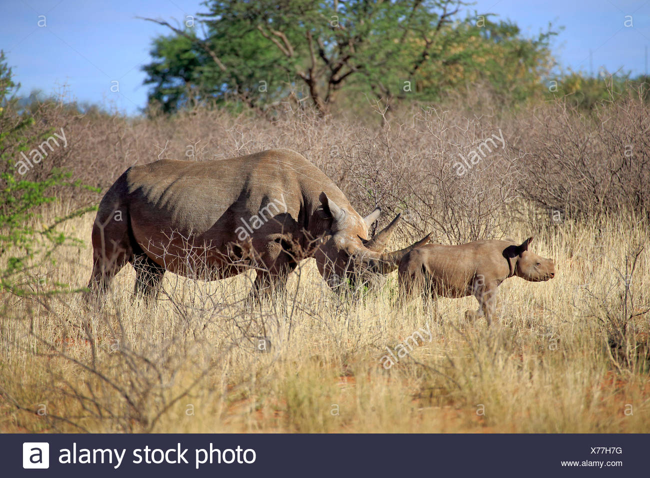 Black Rhinoceros, hook-lipped rhinoceros, adult female with young, Tswalu Game Reserve, Kalahari, Northern Cape, South Africa, Africa / (Diceros bicornis) - Stock Image