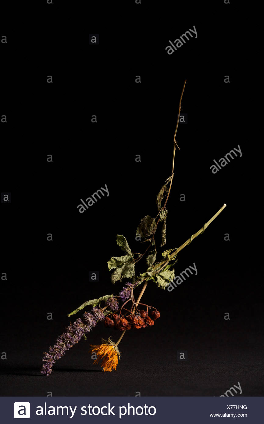 Dried flowers on black background - Stock Image