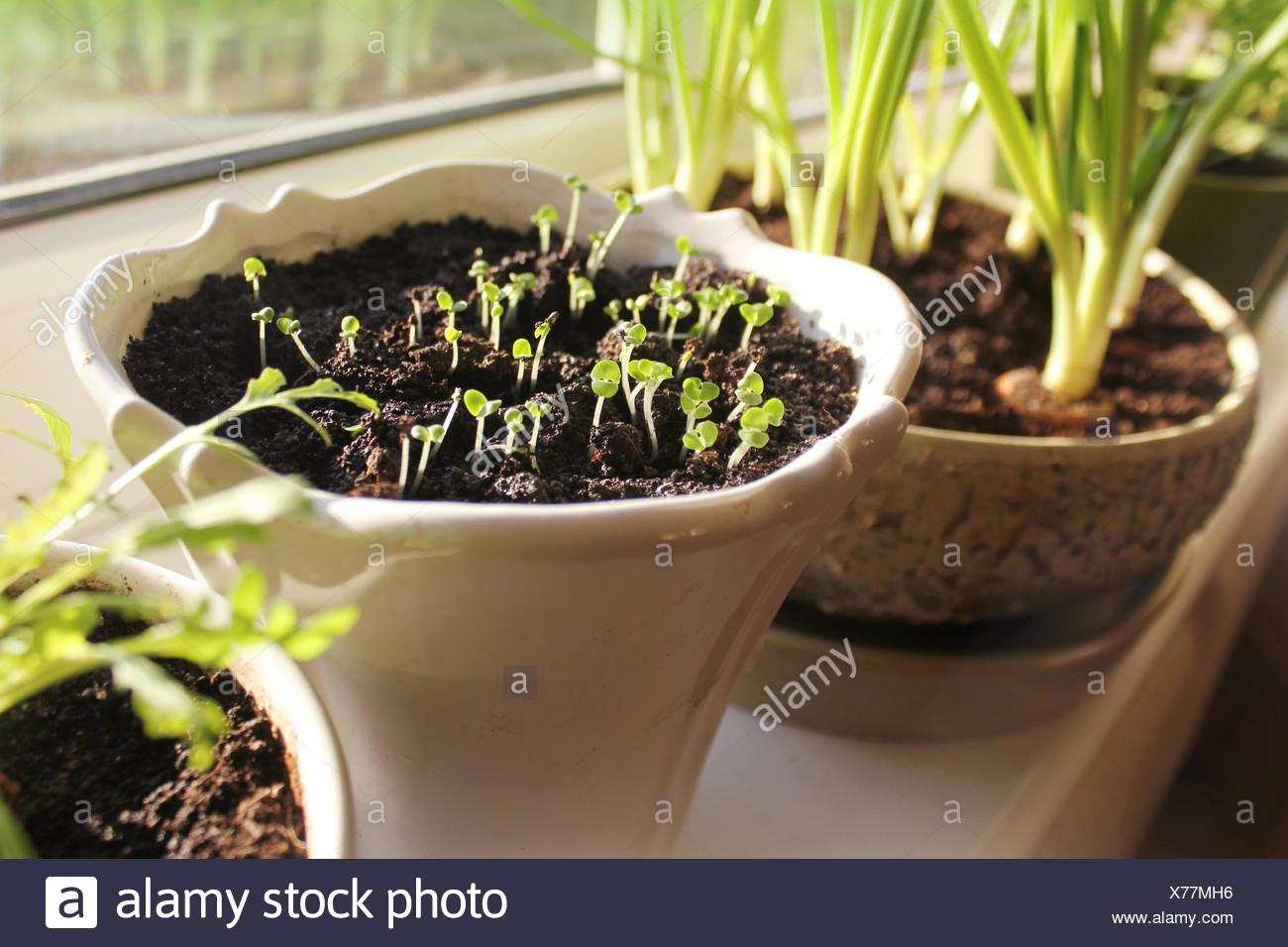 Basil Plant On Kitchen Windowsill Stock Photos & Basil Plant On ...