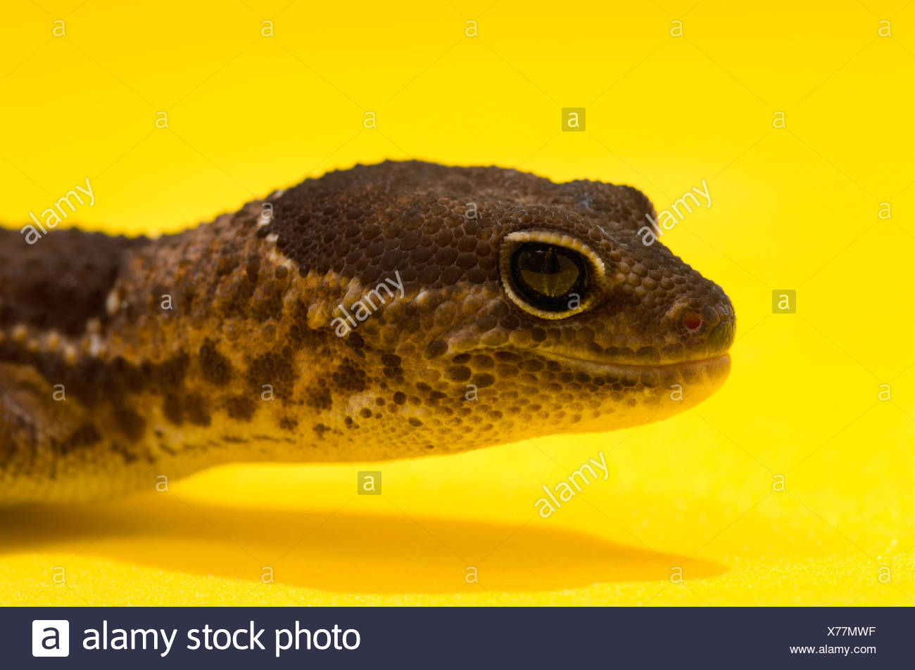 Close Up Of African Fat-Tailed Gecko On Yellow - Stock Image