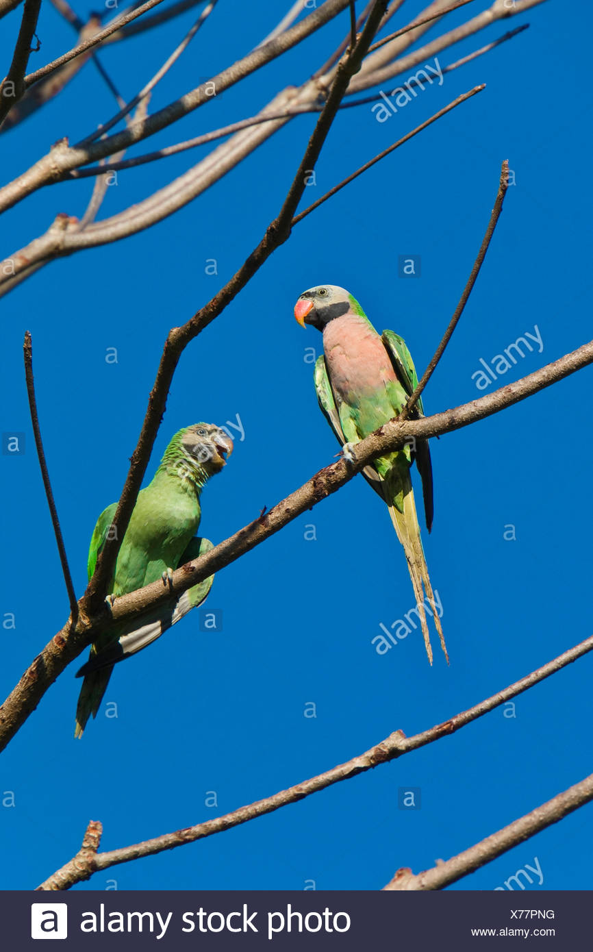 Moustached Parakeet Stock Photos & Moustached Parakeet Stock