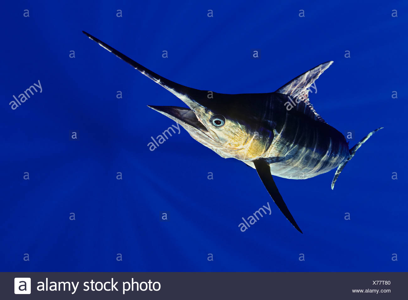 Blue Marlin, Makaira nigricans, Big Island, Hawaii, USA - Stock Image