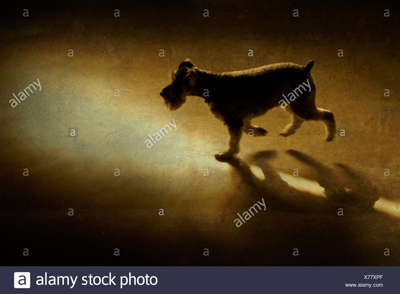 A small dog walking in the evening light - Stock Image
