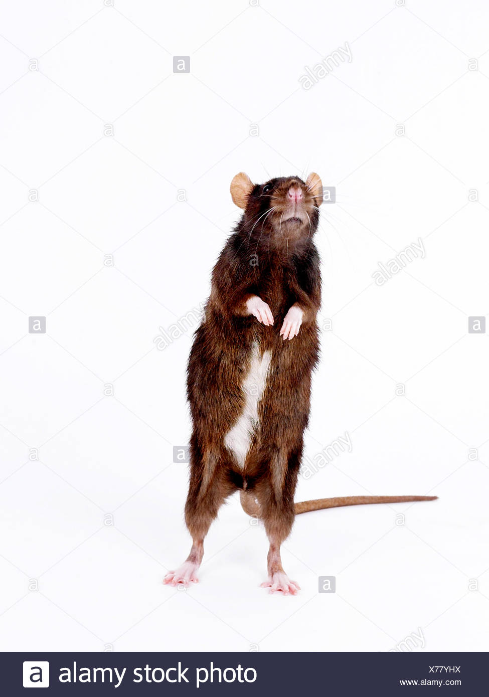 A common brown rat standing up and sniffing - Stock Image