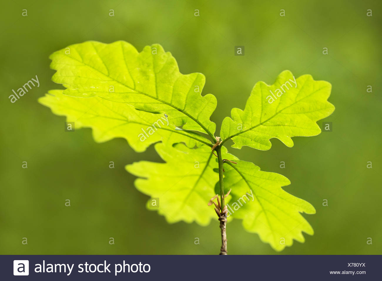English Oak Tree Sapling Quercus robur UK - Stock Image