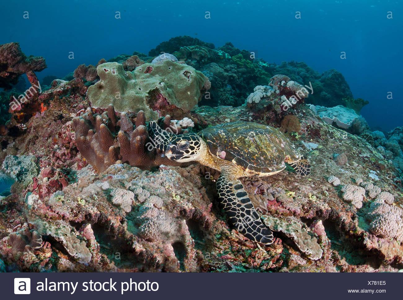 Hawksbill sea turtle (Eretmochelys imbricata), Nusa Lembongan, Small Sunda Islands, Indonesia - Stock Image