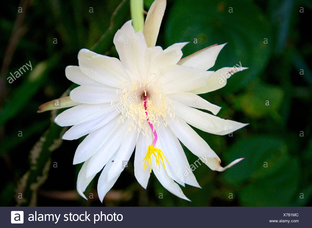 Old fashioned why night blooming flowers are white festooning fine why are night blooming flowers white crest wedding and mightylinksfo