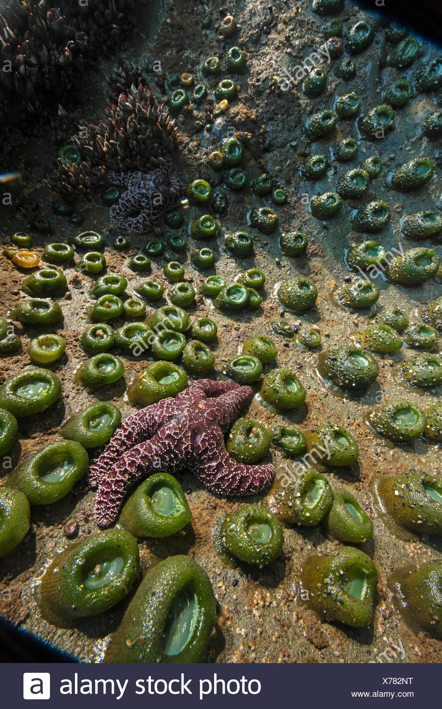An ochre sea star, in decline due to rising sea temperatures, in a tide pool in Washington's Olympic National Park. - Stock Image