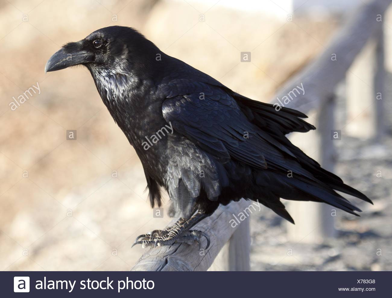 Northern Raven - Stock Image