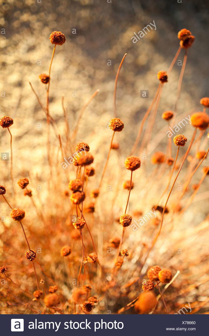 Close up of desert flowers - Stock Image