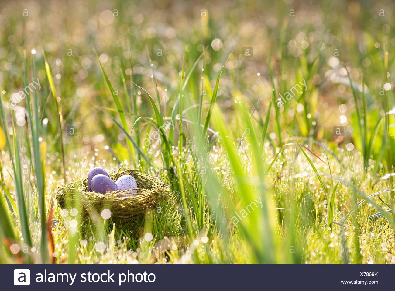 Speckled eggs nestled in bird's nest - Stock Image