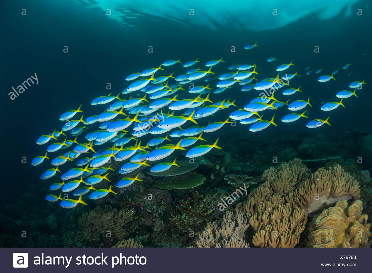 Shaol of Yellowback Fusiliers, Caesio teres, Raja Ampat, Indonesia Stock Photo