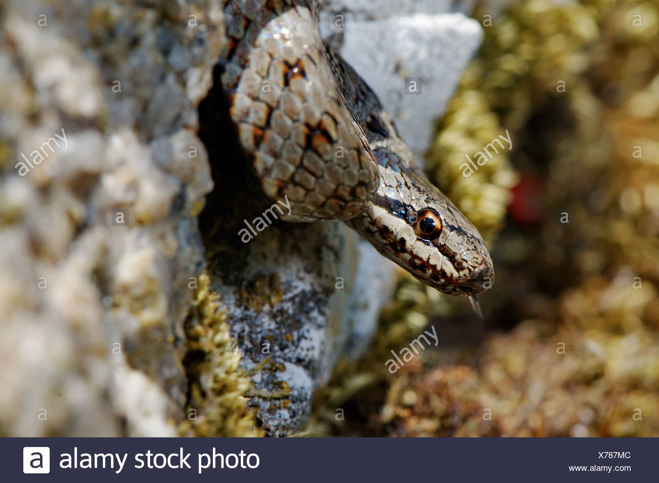 smooth snake, Coronella austriaca, snake, snakes, reptile, reptiles, portrait, protected, endangered, indigenous, non-venomous, - Stock Image