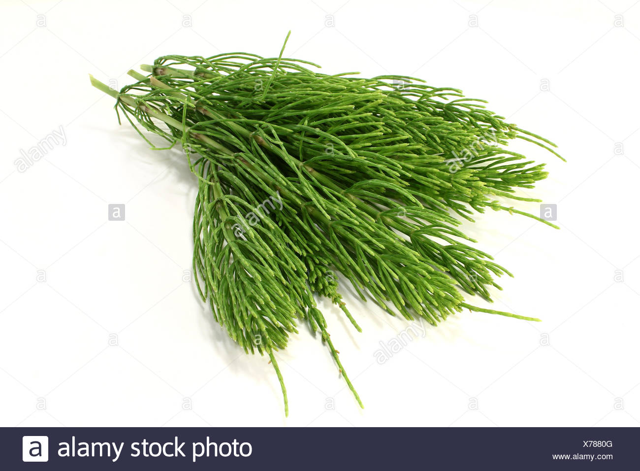 homeopathy horse tail medicinal plant naturopathy homeopathic green agriculture farming material drug anaesthetic addictive - Stock Image