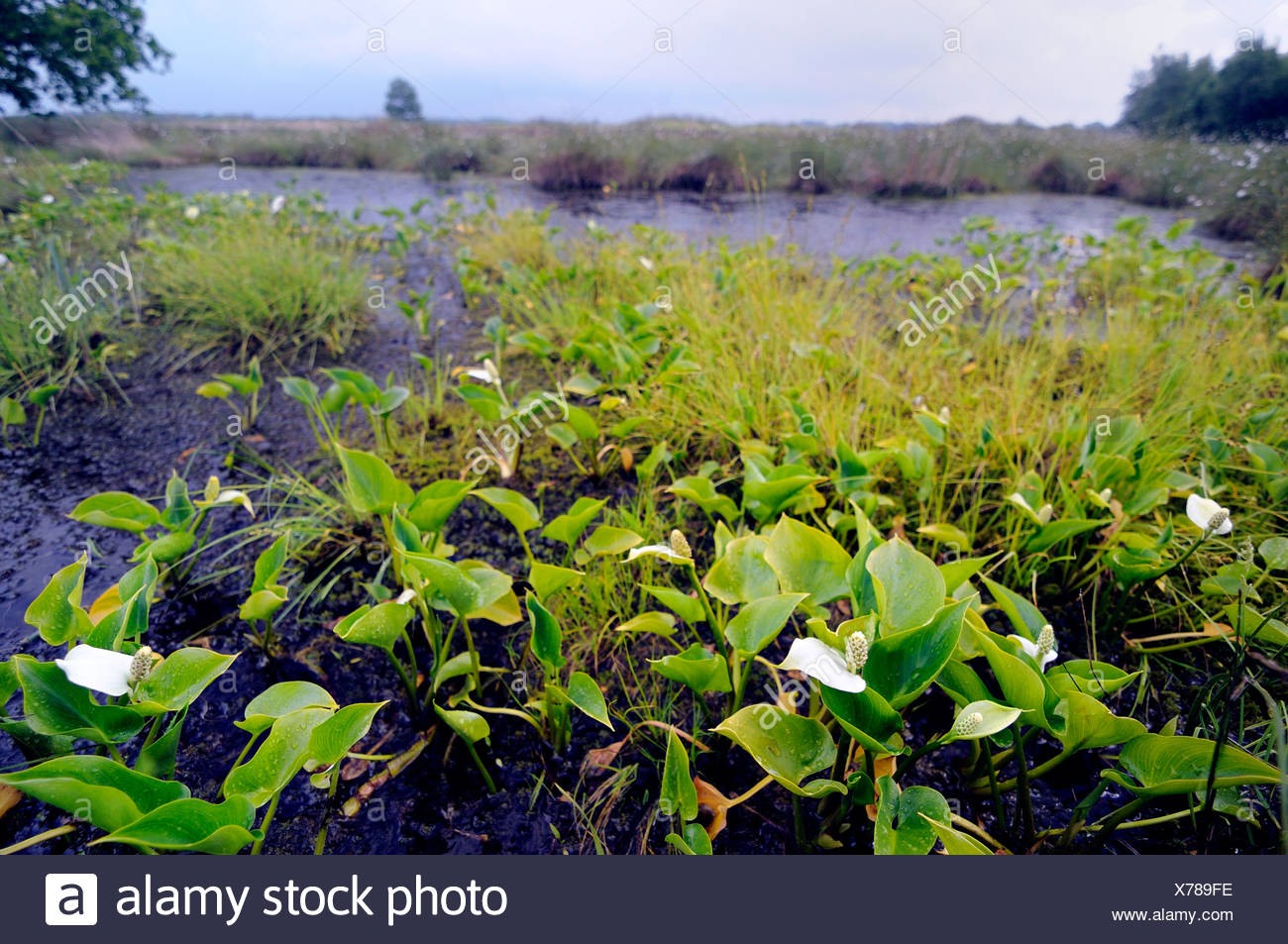 bog arum, wild calla (Calla palustris), blooming at mire border, Germany, Lower Saxony, Grosses Torfmoor - Stock Image