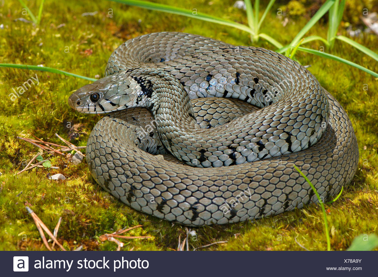 Grass snake, colubrid, colubrids, Natrix natrix helvetica, snake, snakes, reptile, reptiles, general view, protected, endangered - Stock Image