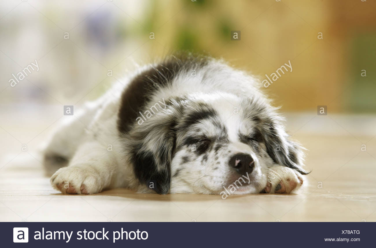 Border Collie puppy - sleeping - Stock Image